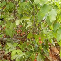 供应腥藤 北流赤苍藤 赤苍藤种苗种子场