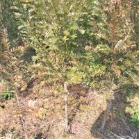 7-9米径桂花
