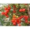 林木种苗红豆杉