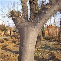 供应当年皂角苗3-50公分大皂角树
