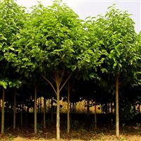 园林绿化小乔木种苗批发