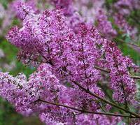 紫丁香80以上,珍珠梅80以上