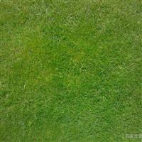西安草皮种植基地