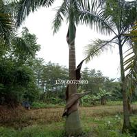 重庆大王椰子,重庆大王椰子价格,精品苗木