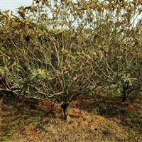 江西省南昌市哪里有枇杷果树,枇杷树卖?