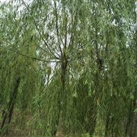 河北金叶榆、河北刺槐、河北柳树