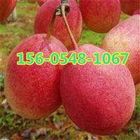 优质梨树产地秋月梨树苗基地出售价格