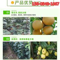 皇冠梨苗价格-4公分皇冠梨树苗