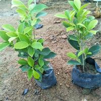 福建漳州黄金榕袋苗自产自销,物美价廉