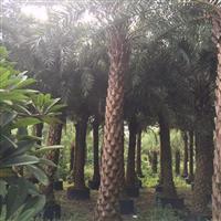 中东海枣,杆高5-6米价格优惠,基地直销