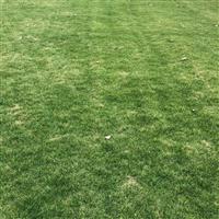 供应优质百慕大混播黑麦草坪