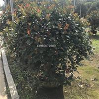广西红叶石楠球,广西柳州红叶石楠球盆栽