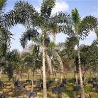 重庆狐尾椰子,重庆假植狐尾椰子种植场