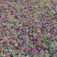 草花角堇出售
