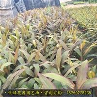 亮叶朱蕉福建苗圃种植 自产自销 质优价廉