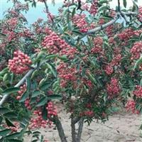 哪有无刺狮子头大红袍花椒树苗买花椒种子