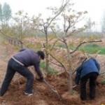 1-10公分山楂树 核桃树 樱桃树 苹果树