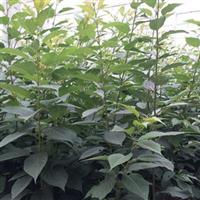 供应销售3公分国槐苗园林绿化