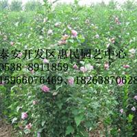 山东泰安0.5-6公分木槿绿化苗销售中心