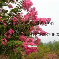 山东临沂0.5-6公分紫薇绿化苗种植基地