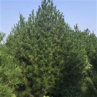 出售0.5~5米白皮松苗木