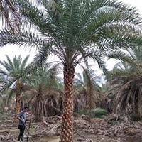 中东海枣杆高5-6米,基地大量批发