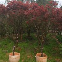 红枫树,苗木基地直销,风景树,树型优美