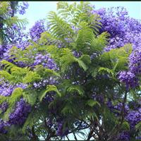 蓝花楹的价格合理,漳州最新蓝花楹,树形优美