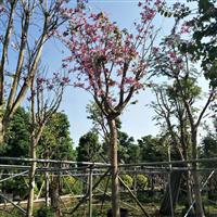 漳州宫粉紫荆苗木基地自产自销,规格齐全