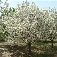 八棱海棠树