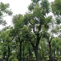 蓝花楹,绿化行道树,福建苗木基地直销