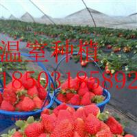 温室大棚种植-立体草莓种植-农业观光