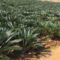 苏铁,大型盆景绿植,苗木基地自产自销