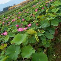 供应水生植物荷花