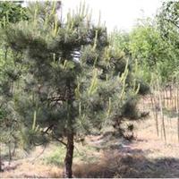 北京绿芦园油松