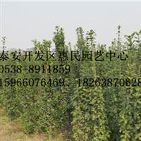 山东泰安0.5-3米北海道黄杨销售中心
