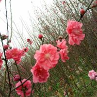 福建漳州兴辉园艺场的青叶碧桃规格有3米吗