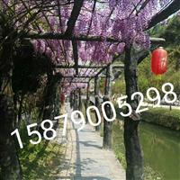 江西省哪里有紫藤、金�y花、凌霄花爬山虎�u
