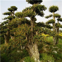 椤木石楠大树|浏阳造型椤木石楠_优惠找张总