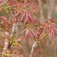 基地供应绿化苗木香椿树行道树