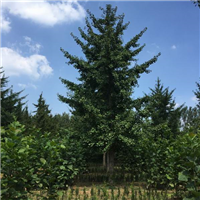 12公分银杏树