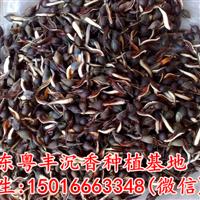 沉香种子净种90元一斤