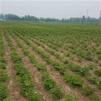一级牡丹种苗、菏泽牡丹种植基地