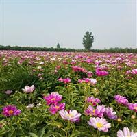 一级芍药种苗、山东芍药种植基地