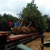 南昌原生香泡树;江西省哪里有移栽柚子树卖