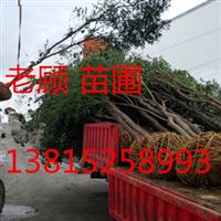 苏州光福梅花树、梅花盆景、古桩造型树