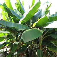 江西省南昌市哪里有芭蕉树、美人蕉卖
