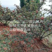 韩城大红袍无刺狮子头花椒树苗基地