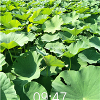 水生植物荷花供应
