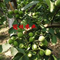 冠核一号原生种子,韩国专项出口